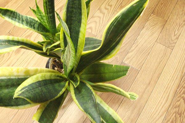 オフィスの観葉植物