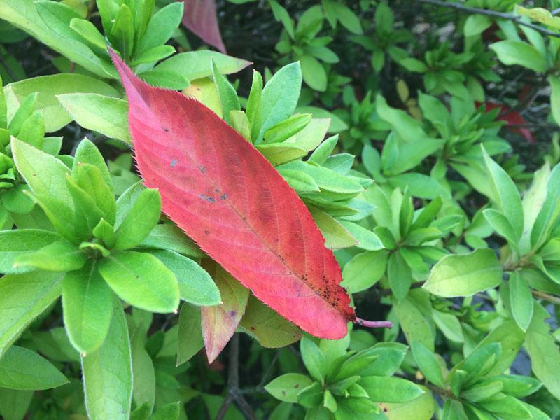 たくさんの葉っぱの中に枯れ葉がひとつ